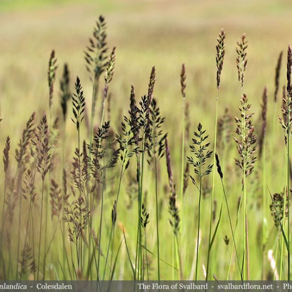 Calamagrostis neglecta groenlandica 2 full