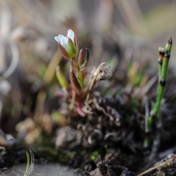 Minuartia stricta
