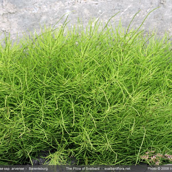 Equisetum arvense alpestre whole full
