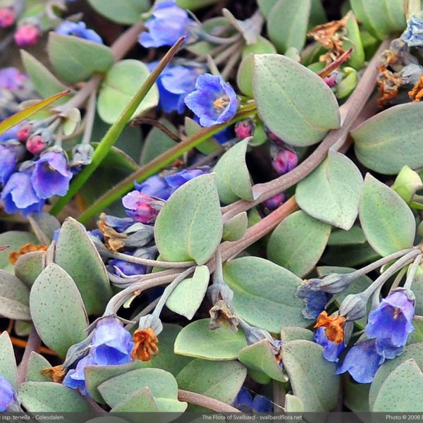 Mertensia maritima tenella close full