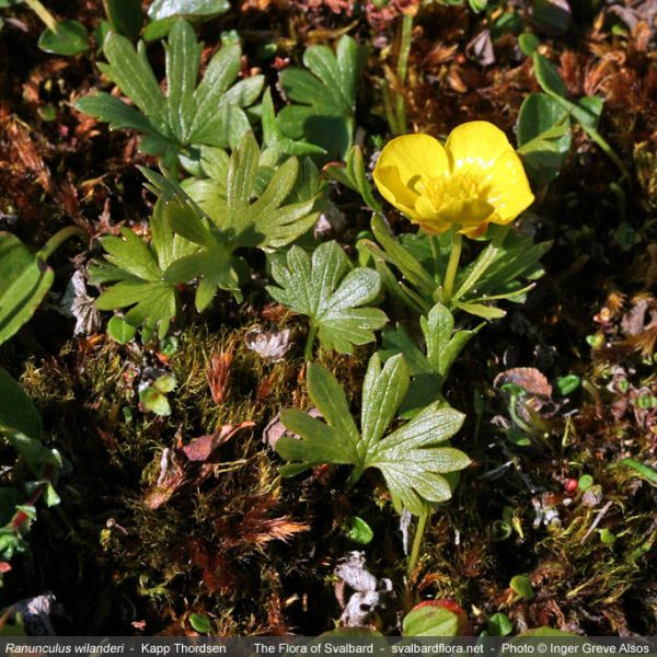 Ranunculus wilanderi whole full