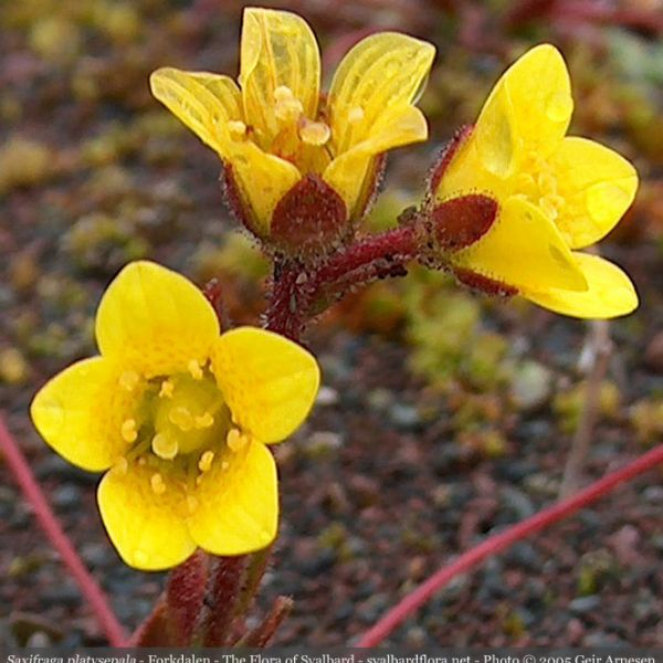 Saxifraga platysepala close full
