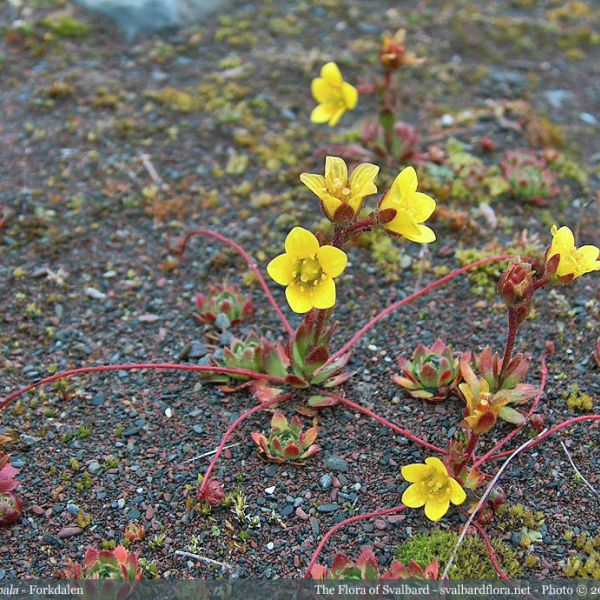 Saxifraga platysepala whole full
